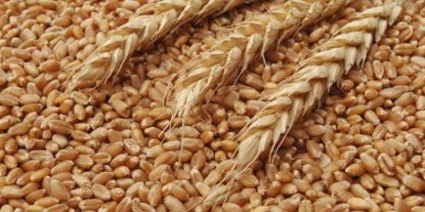 وزارة التموين تعلن عن حجم التوريد من القمح المحلي